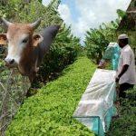 cow and vegetation bioferm rita